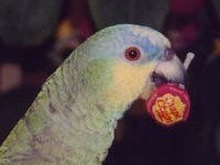 Coco The Parrot Loves Chupa Chups Lollipops