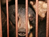 Unbearable Cruelty: The Bear Bile Farms Of China