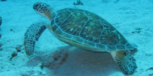 tobago-scuba-turtle