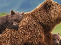 Disneynature Bears: Smarter Than Your Average Bear (Movie)