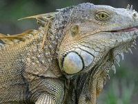 Green Iguanas: Are You Looking For Lizardly Love? Probably Not