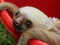 "Sloth Soap Opera: Animal Planet's ""Meet The Sloths"" Series"