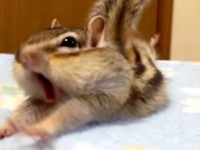 A Chipmunk Shows Us How To Stretch Properly