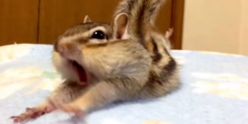 chipmunk stretching