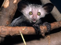 What The Heck Is An Aye-Aye?