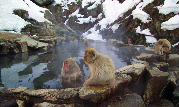 Japanese Macaques Hot Springs