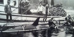 Killer Whales Capture