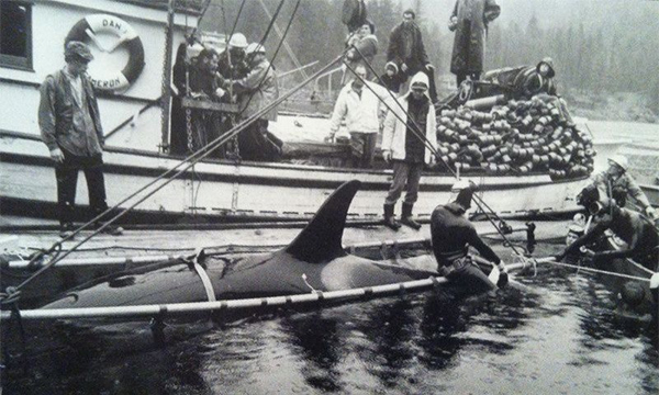Killer Whale Capture