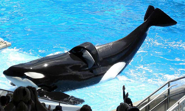Killer Whale Shamu in captivity